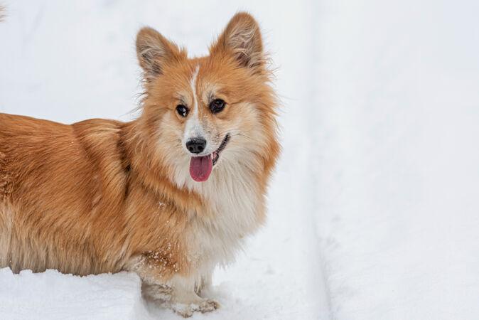 威尔士柯基彭布鲁克毛茸茸的狗在户外 特写肖像在雪