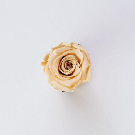 美丽的单一孤立奶油色玫瑰
