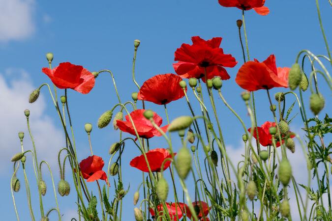 在阳光明媚的夏日特写镜头中 红色罂粟花在蓝天下美丽绽放